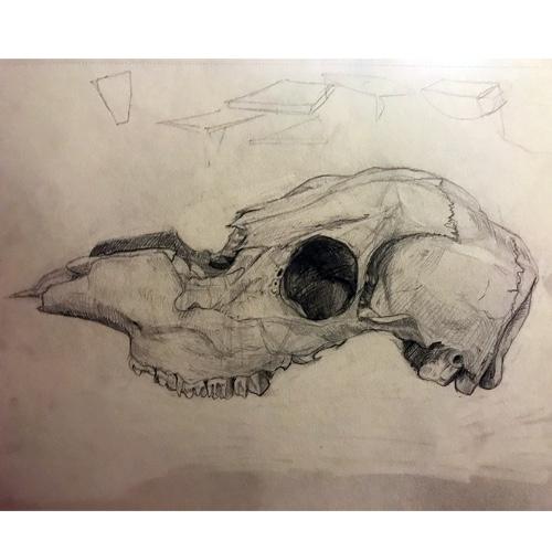 Animal Skull Study